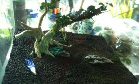 办公室新粘水榕树水草缸组图
