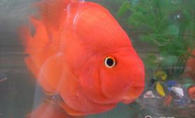 鹦鹉鱼饲养的七大要点