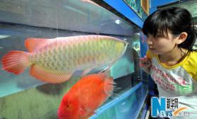 罕见红龙鱼标价8万元(图)