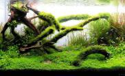 又见妖娆沉木造景水草缸这么一缸也是蛮清新的