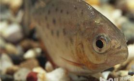 水虎鱼如何混养银板和灯鱼