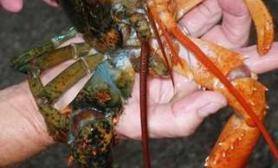 雌雄同体动物:龙虾不同性状颜色差异大(多图)