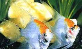 美丽优雅的神仙鱼(多图)