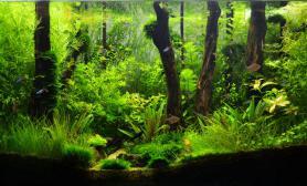 原创沉木水草造景鉴赏树林缸俩月了