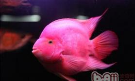 水温和饲料对鹦鹉鱼健康的影响