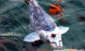 济南发现虎头锦鲤鱼(多图)