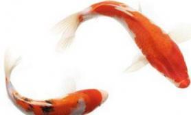 锦鲤饲养技巧全攻略(图)