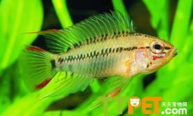 短鲷鱼喜欢的生存环境