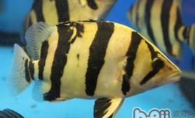 印尼虎和龙鱼混养的注意事项