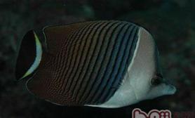 中白蝴蝶鱼的饲养环境