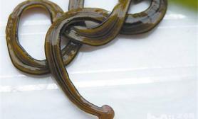 详解水草缸中常见的三种寄生虫