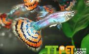孔雀鱼繁殖的方法和注意问题