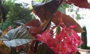 竹节海棠有没有毒对人是否有害