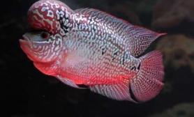 参考罗汉鱼幼苗大概多少钱一只