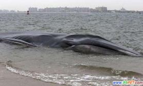 巨鲸搁浅纽约海岸命运堪忧(图)