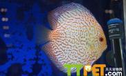 七彩神仙鱼繁殖需要注意的问题
