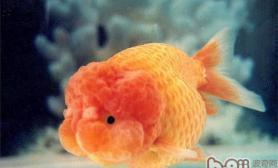 兰寿和中国金鱼的区别