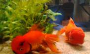 瓷盆养不活金鱼的原因分析