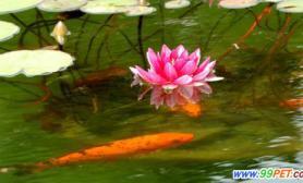 锦鲤戏莲景从画中来(多图)