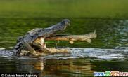 幸运鳄鱼美食免费送入嘴(多图)