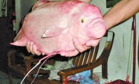 市民捕食怪鱼我看是放生观赏鱼(图)