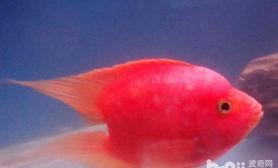 保持鹦鹉鱼血红色的秘诀有哪些