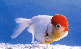 金鱼的挑选技巧