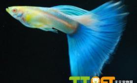孔雀鱼烂鳍病的预防和治疗方法