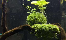 水草造景宫廷水草缸天湖葵的问题