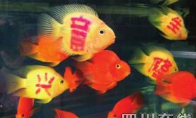 观赏鱼文身价倍增 四条卖120元(图)