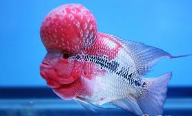 罗汉鱼吃哪些东西比较好