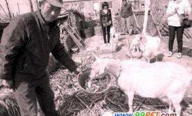 母羊不爱吃草爱吃鱼和虾(图)