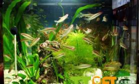 水族箱前景草的种植方法