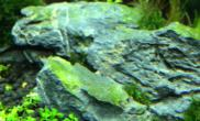 草缸里的石头发绿求解鱼缸水族箱