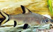 银鲨的品种简介