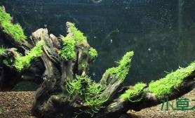 一颗珊瑚形状的水草造景陈木水草缸绑上莫斯别有一番风味鱼缸水族箱