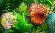 七彩神仙鱼的品种简介