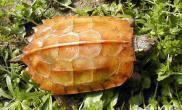 枫叶龟好养吗
