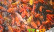 自制鱼食的方法