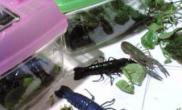 水族有新宠蓝白黑螯虾(图)