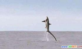 英渔民近海意外捕获巨型长尾鲨(多图)