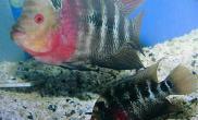 罗汉鱼繁殖图解