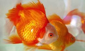 关于金鱼分类详解