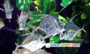 身披10多根荧光丝带的鱼(图)