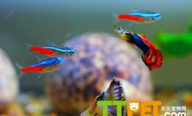 孔雀鱼肚子瘪怎么回事什么原因