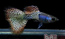 什么是观赏鱼的生殖和筑巢习性