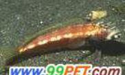 虾虎鱼(多图)