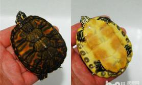 火焰龟怎么养火焰龟好养吗
