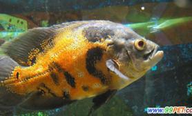 观赏鱼疾病的预防(图)