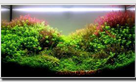 60CM水草草缸红宫廷绿宫廷趴地